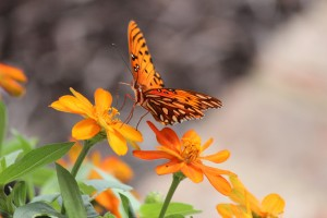 Monarch Butterfly Drinking Nectar from Flower 2